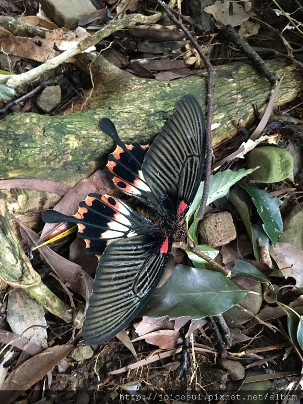路上遇到了一隻已死亡但黑美的大蝴蝶