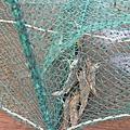 抓到了幾隻蝦