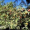 超小的蘋果-圓葉海棠