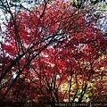 是真的火紅的楓葉!