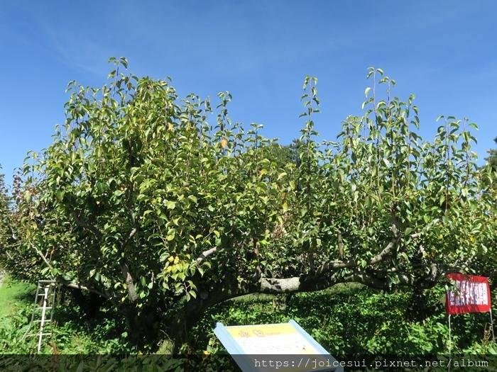葉子向上的是梨