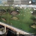 活的台灣鯛