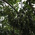 據說是南美洲荔枝?