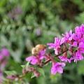 這是蜜蜂真不好拍Orz