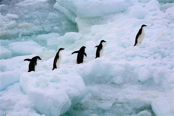 antarctic-penguins