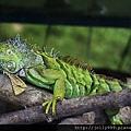 綠獵蜥的魅力