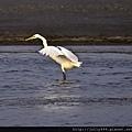 展翅的大白鷺