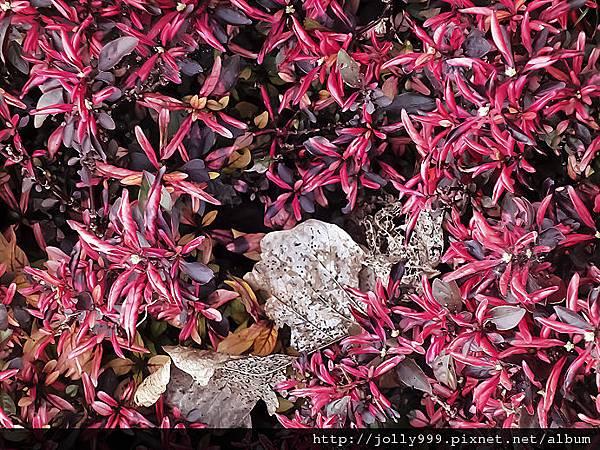 紅花上的枯葉