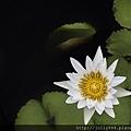 綻放的香水蓮花