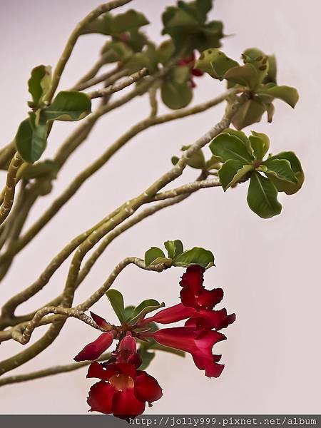 沙漠玫瑰0C