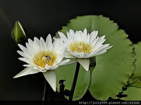 香水蓮花0G