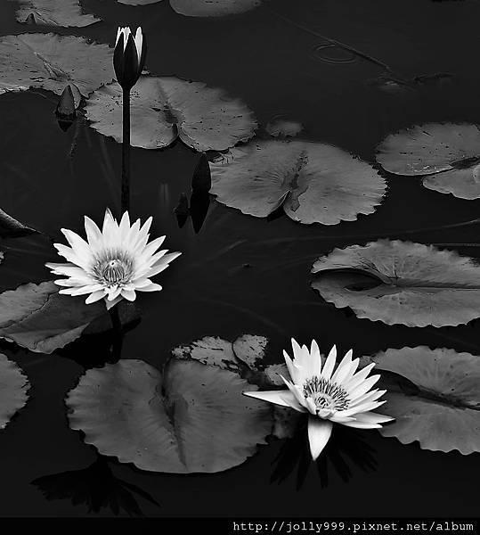香水蓮花8