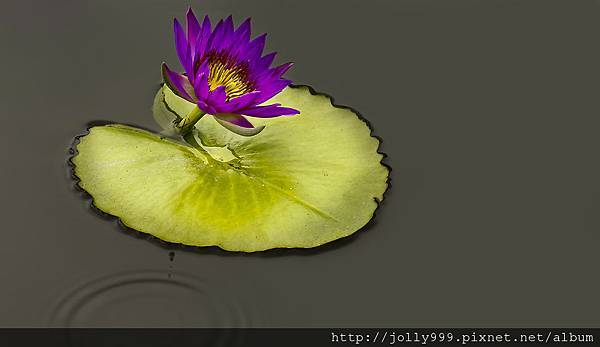 香水蓮花B