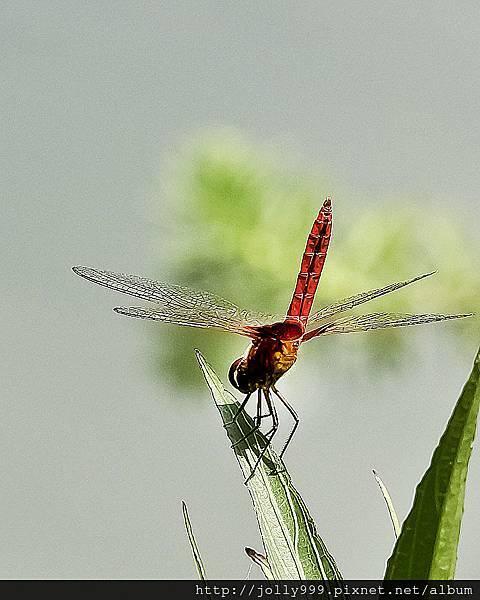 霜白蜻蜓5