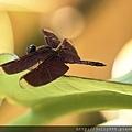 善變蜻蜓1