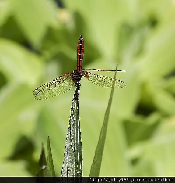 蜻蜓耍特技?2