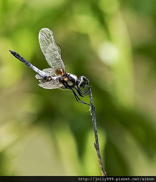 蜻蜓棲息1
