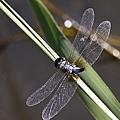蜻蜓棲息3