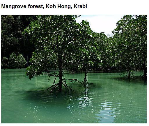 Mangrove forest, Koh Hong, Krabi.jpg