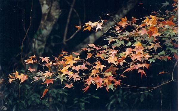 福山~五重橋旁的楓