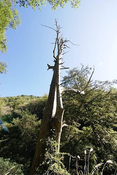 這樹真的很大