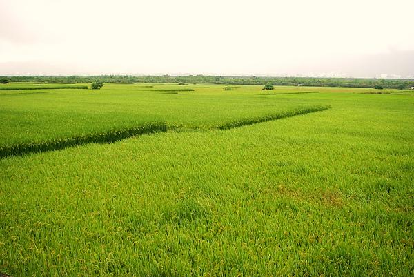 往台東路上的稻田