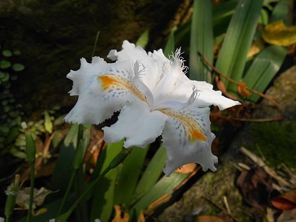 日本蔫尾花
