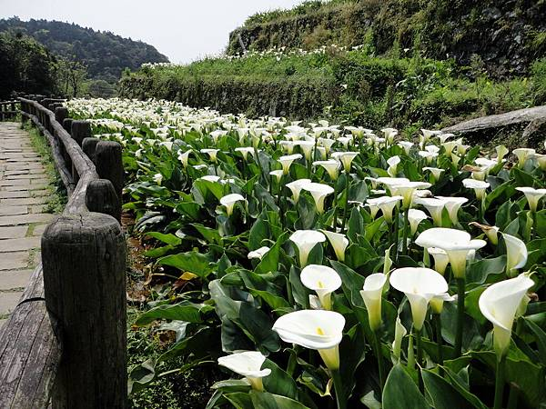 竹子湖海芋