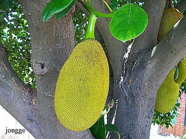 波羅蜜果樹