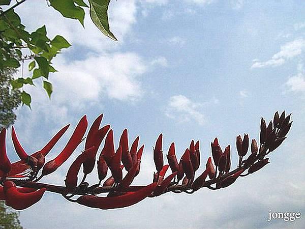 珊瑚刺桐花