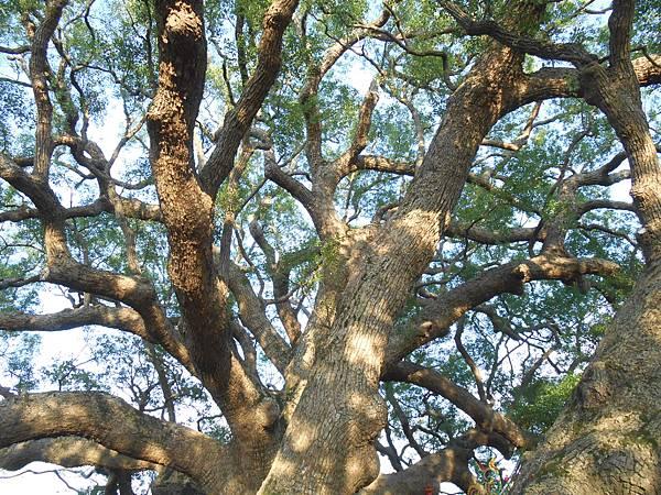 月眉樟公樹