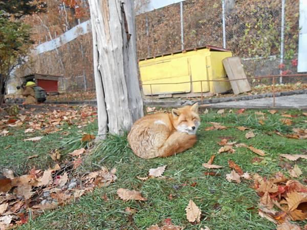 石頭上狐貍