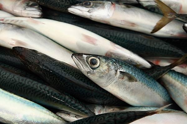南方澳鯖魚