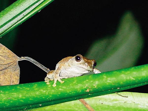 青蛙見強光會受到驚嚇.jpg