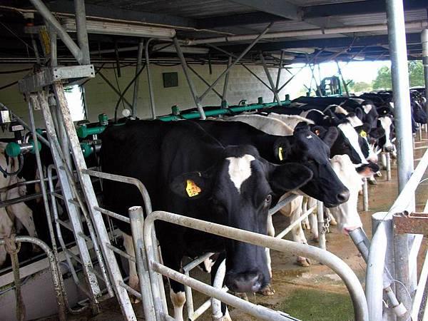 擠牛奶1.jpg