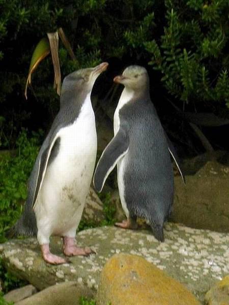 野生企鵝.jpg