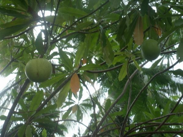 不知名水果