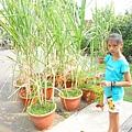 甘蔗也能用盆栽種植啊...