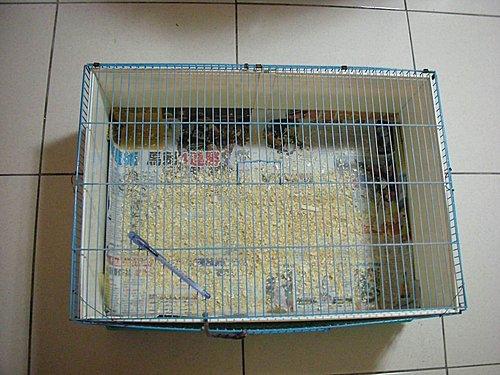 鳥籠改裝的迷你雞籠..呵呵~.jpg