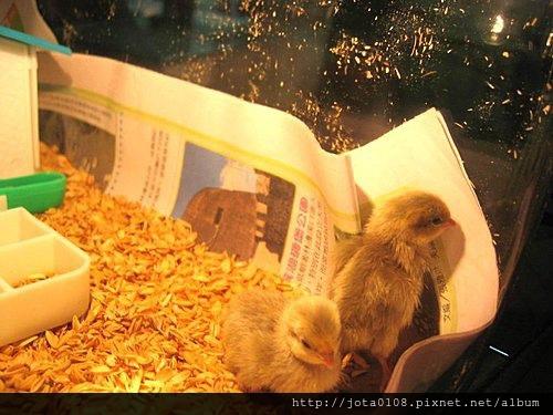 好奇的小黃雞.jpg