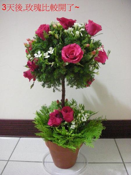 玫瑰樹-1.jpg