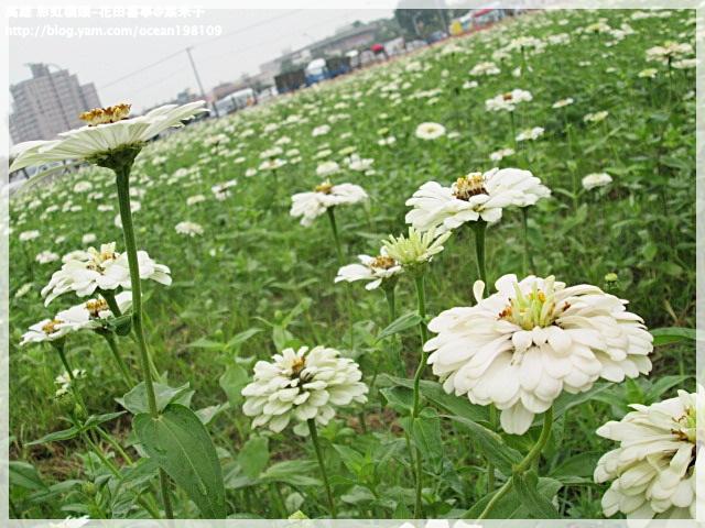 花海(白)4.JPG