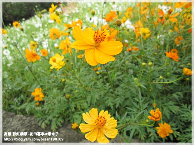 花海(黃)2.JPG