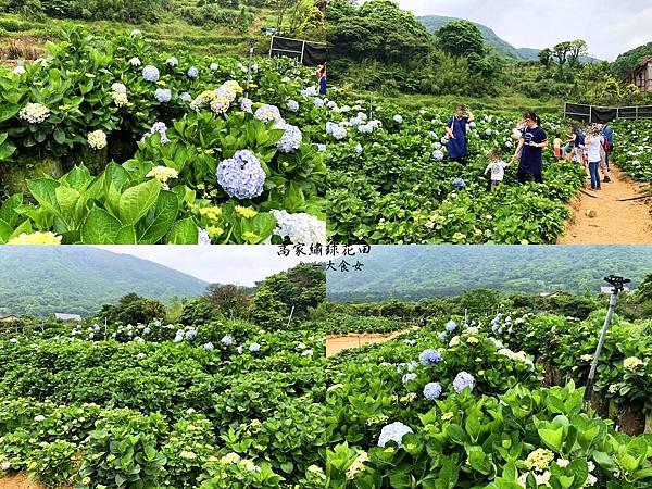 陽明山繡球花-高家繡球花