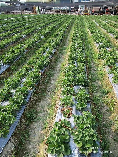 anna 4y 農村樂。彩莓趣。P3180133-002