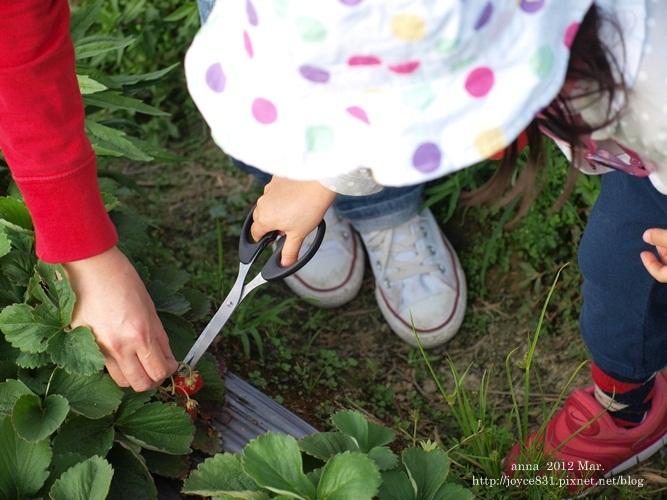 anna 4y 農村樂。彩莓趣。P3180154-005
