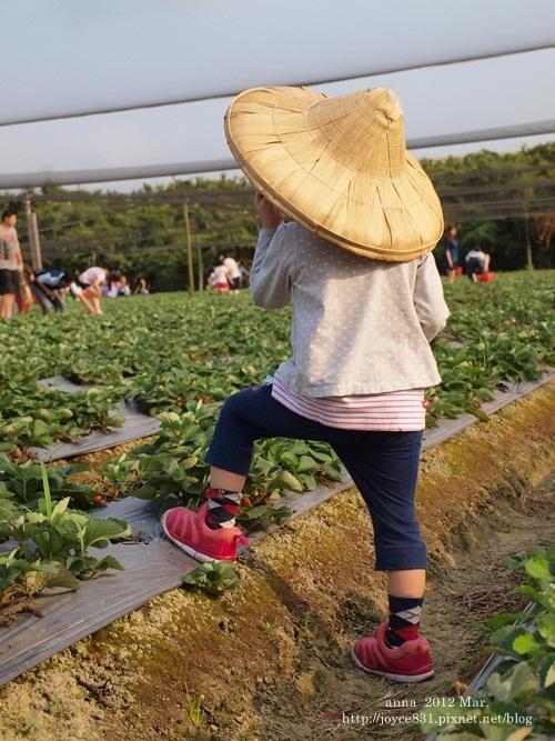 anna 4y 農村樂。彩莓趣。P3180194-011
