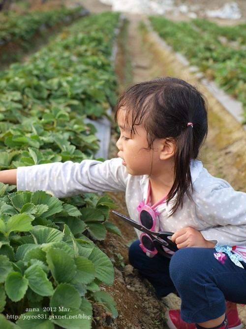anna 4y 農村樂。彩莓趣。P3180199-013