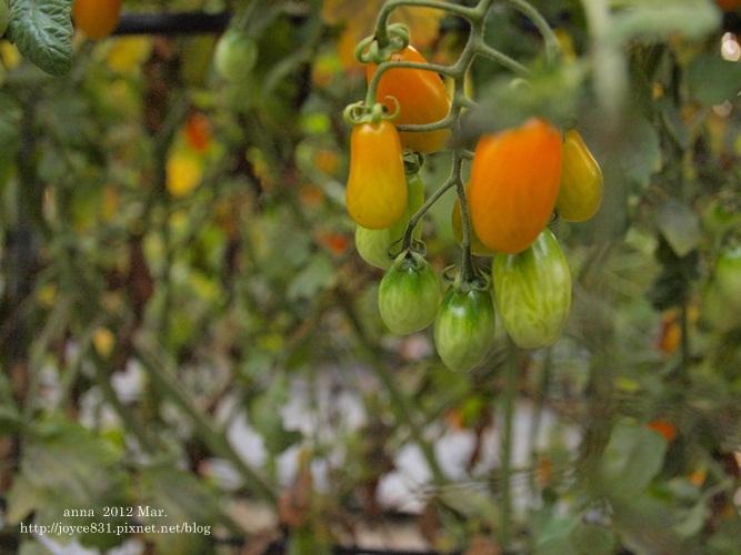 anna 4y 農村樂。彩莓趣。P3180288-020
