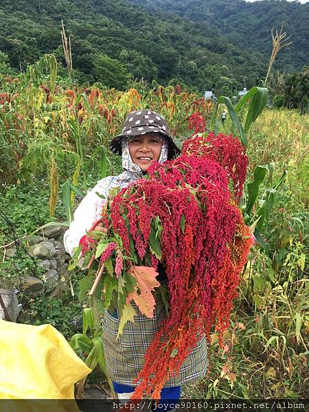 紅藜採收時,部落的人幫金蕉媽一起採收.JPG